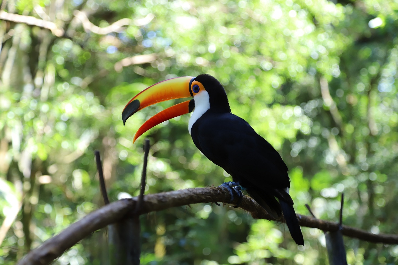 Toco toucan 1.jpg