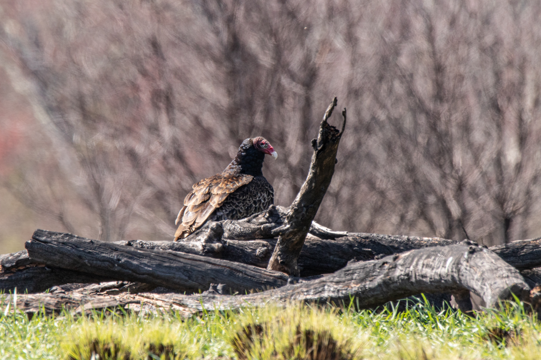 Canon 7DM2, 600mm, 1-320, f9, iso320(Edwin Wildlife, NJ) California Condor.jpg